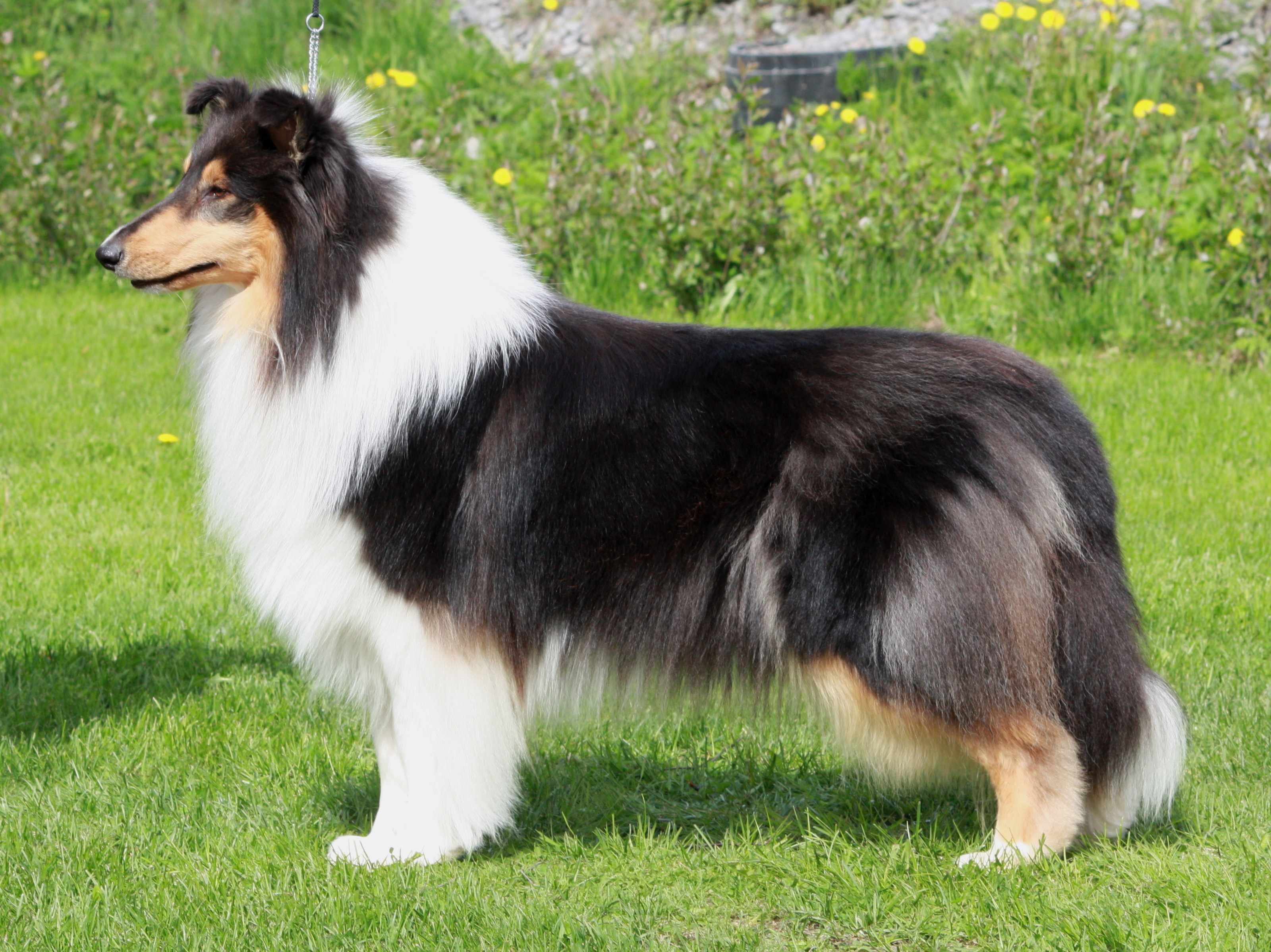 Pitkäkarvainen collie, Carnoustie's Aphrodite