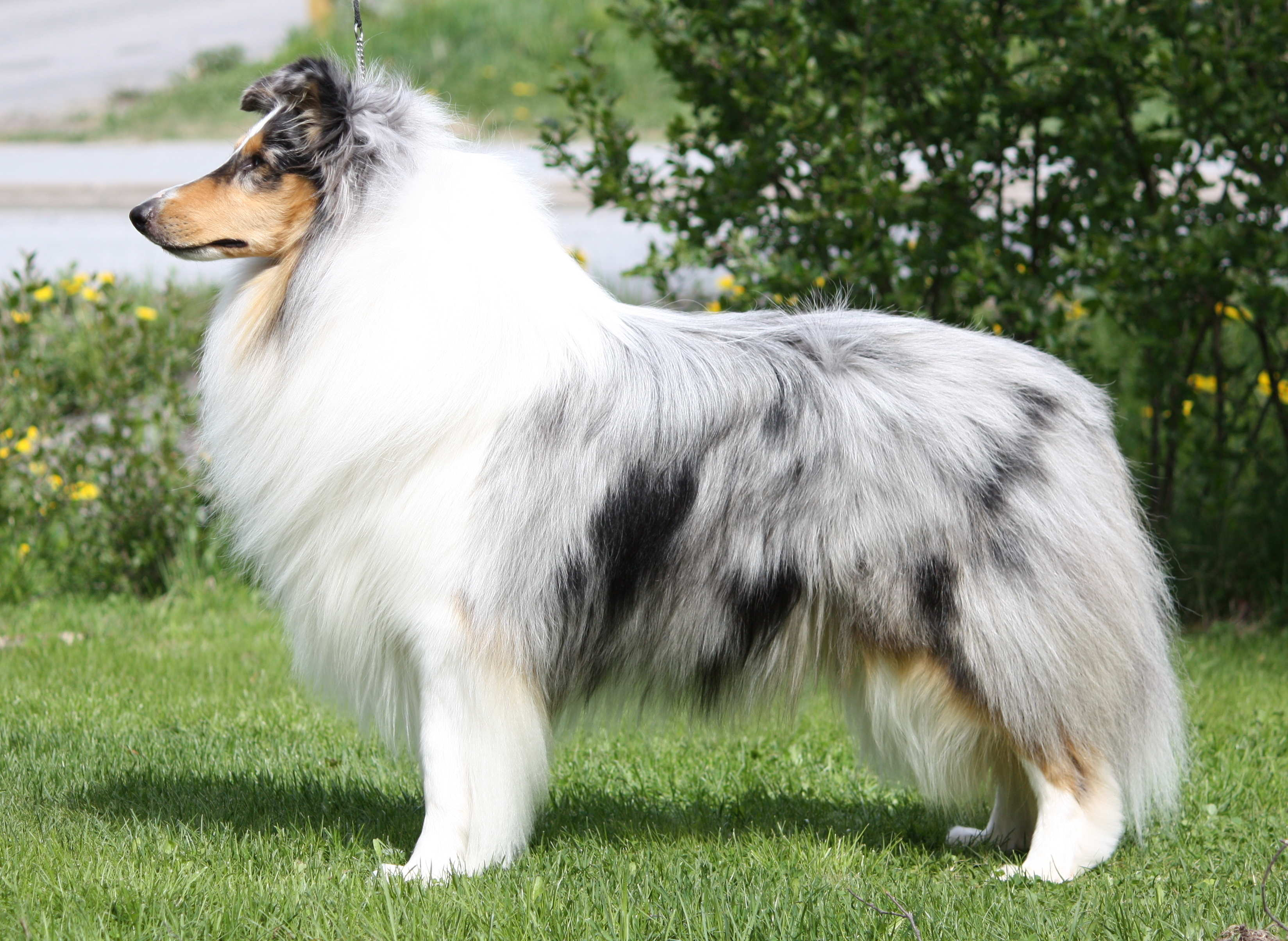 Pitkäkarvainen collie, Carnoustie´s Show Stopper